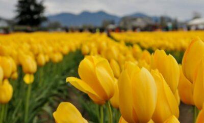 Skagit tulips, Skagit Washington, travel photography