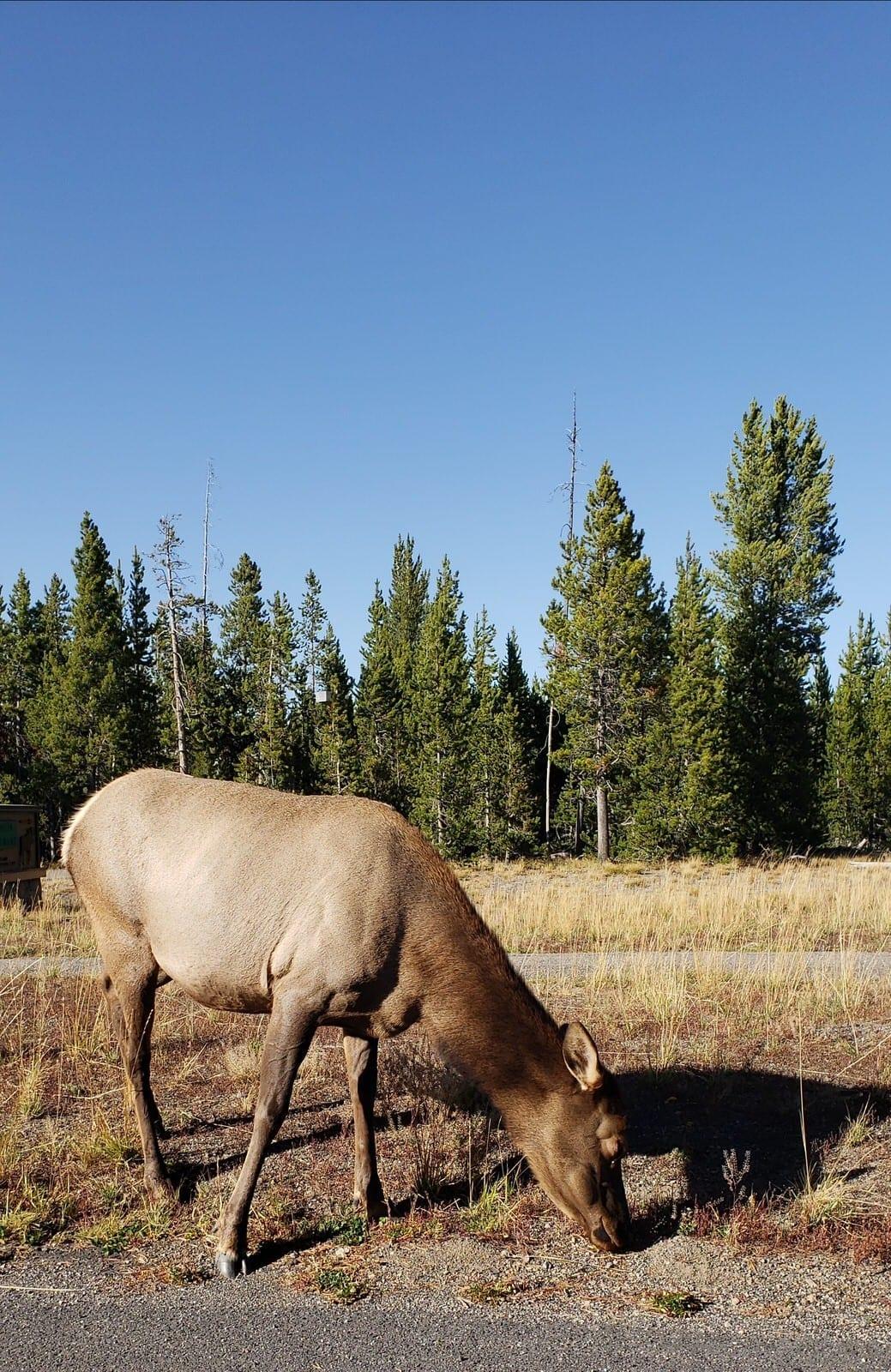 moose at grant village yellowstone national park